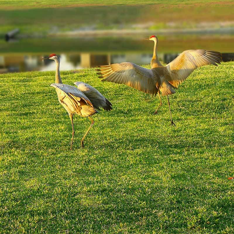 Sand Hill Cranes Vero Beach